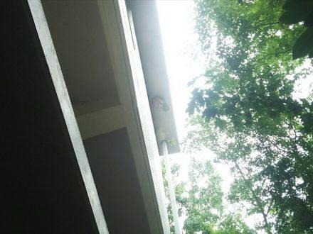 東大阪市・マンションのスズメバチ駆除の事例 の処理前写真(拡大)
