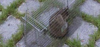 アライグマ駆除 奈良市 個人宅の駆除処理後