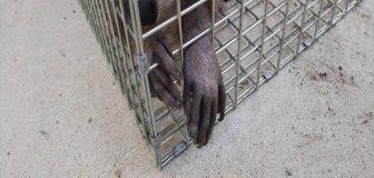 川西市・個人宅のアライグマ駆除の事例の写真