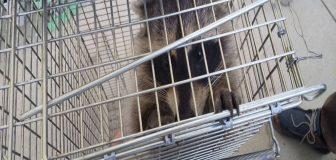 亀岡市・工場敷地内のアライグマ駆除の事例の写真