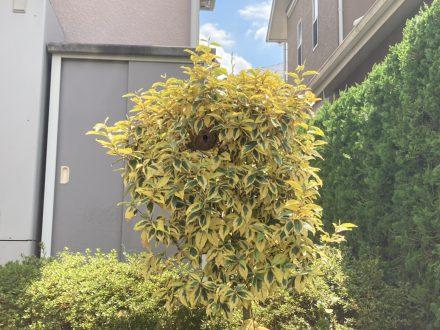 スズメバチ駆除 京都市上京区 個人宅 樹枝の処理前写真(拡大)