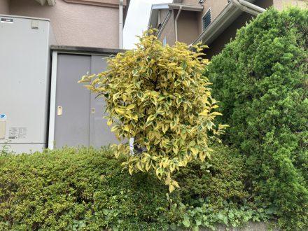 スズメバチ駆除 京都市上京区 個人宅 樹枝の処理後写真(拡大)