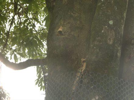 神戸市・ゴルフ場のスズメバチ駆除の事例 の処理前写真(2)