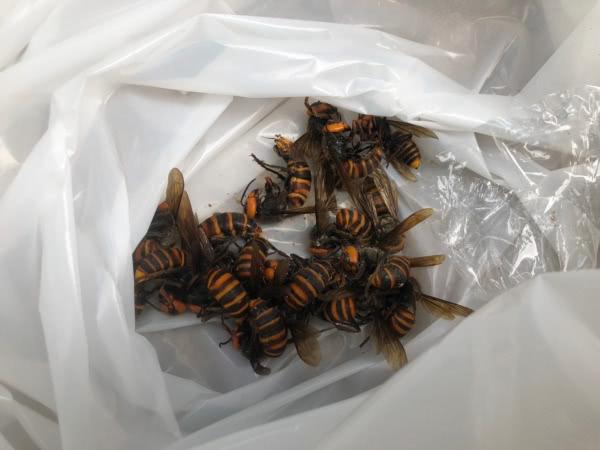 オオスズメバチ駆除 寝屋川市 管理会社 敷地内画像