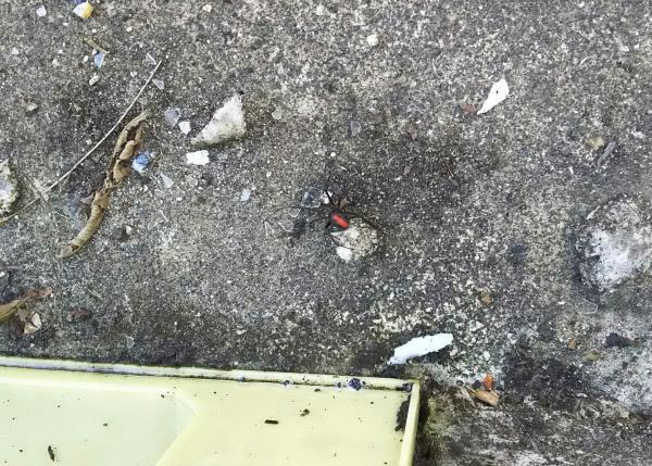 セアカゴケグモ駆除 泉佐野市 会社敷地内画像