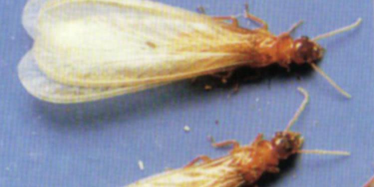 イエシロアリ の羽アリ