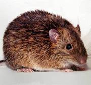ネズミの被害を受けたらご連絡下さい!スグに駆除に伺います!