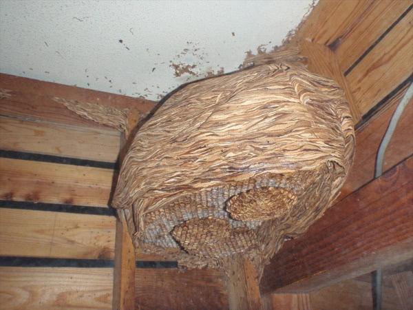 弊社駆除事例 ヒメスズメバチの巣