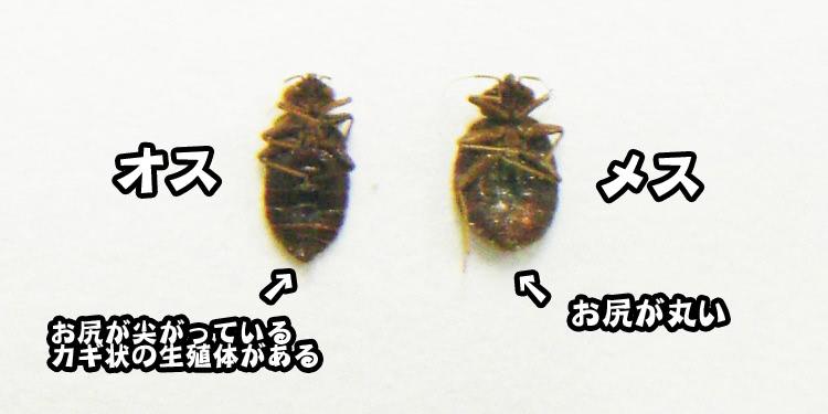 南京虫(トコジラミ)オス・メスの違い