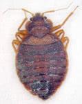 南京虫(トコジラミ)