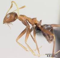 Ant Wikipediaより